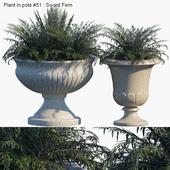 Plant in pots #51 : Sword Fern