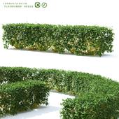 Derain hedge | Cornus sericea `Flaviramea`