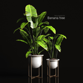 Houseplants Banana tree