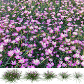Rain Lily | Zephyranthes carinata Herb | 5 Model