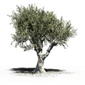Olive Tree (Europa Olea) v2