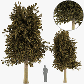 Tree Maple two set autums