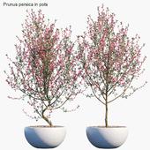 Plant in pots #52 : Prunus persica
