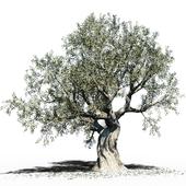 Olive Tree (Europa Olea) #3