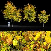 Tilia europaea / linden tree  autumn