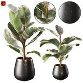 Набор растений фикус каучуконосный