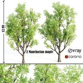 Manchurian maple or Acer mandshuricum