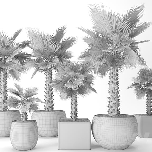 A set of palm trees. Washington. Brahea edulis. 3