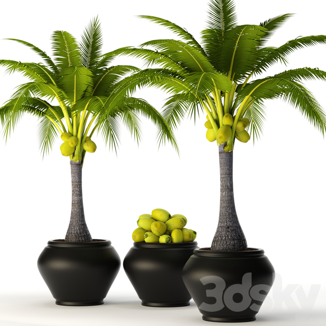 Coconut palm set 2
