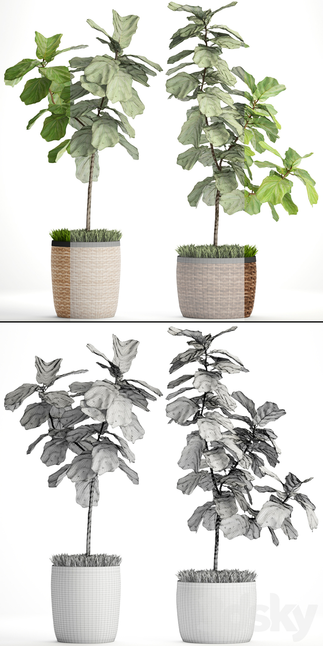 The ficus is lyrate. Collection. 2