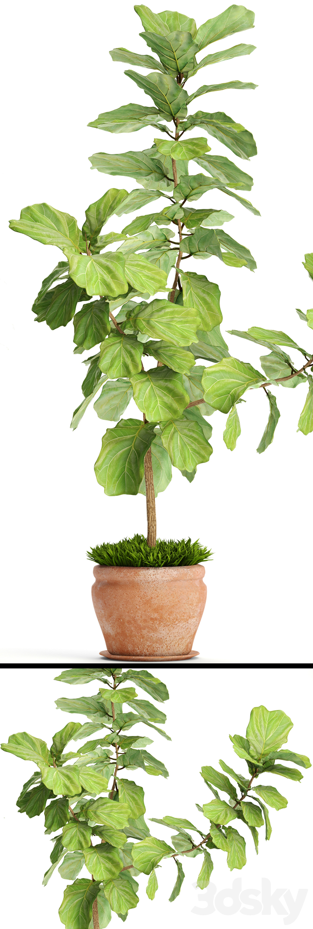Ficus lyrata. Collection. 3