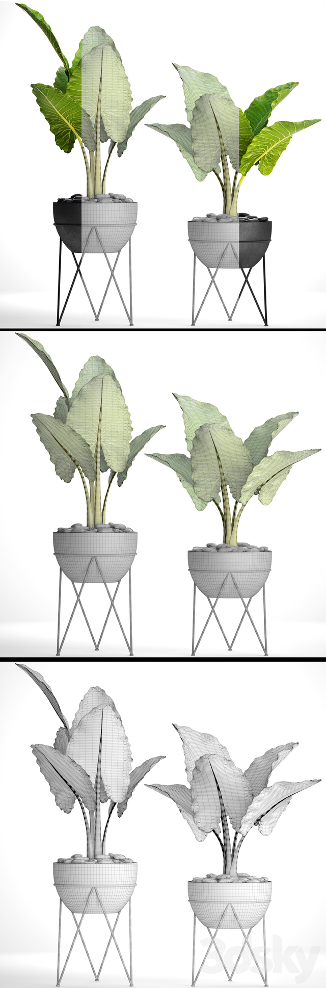 Collection of plants. Alocasia. 29