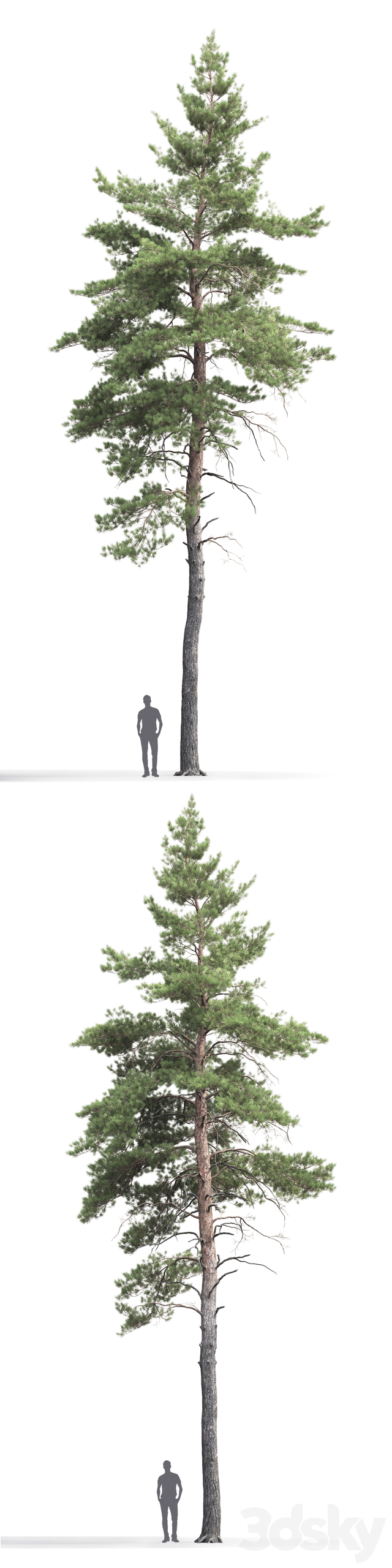 Pine ordinary # 7 (17m)