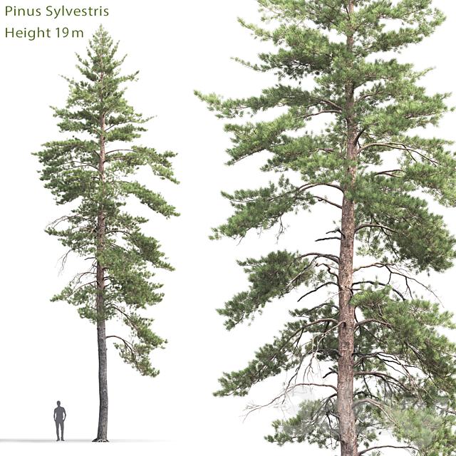 Pine ordinary # 8 (19m)