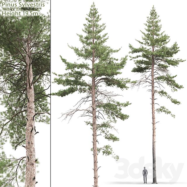 Pine ordinary # 9 (19.5m)