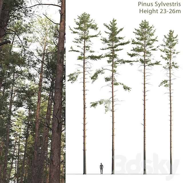 Common Pine # 12 (23-26m)