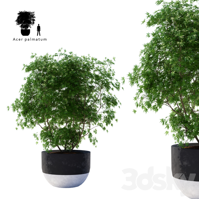 Palm maple green | Acer palmatum