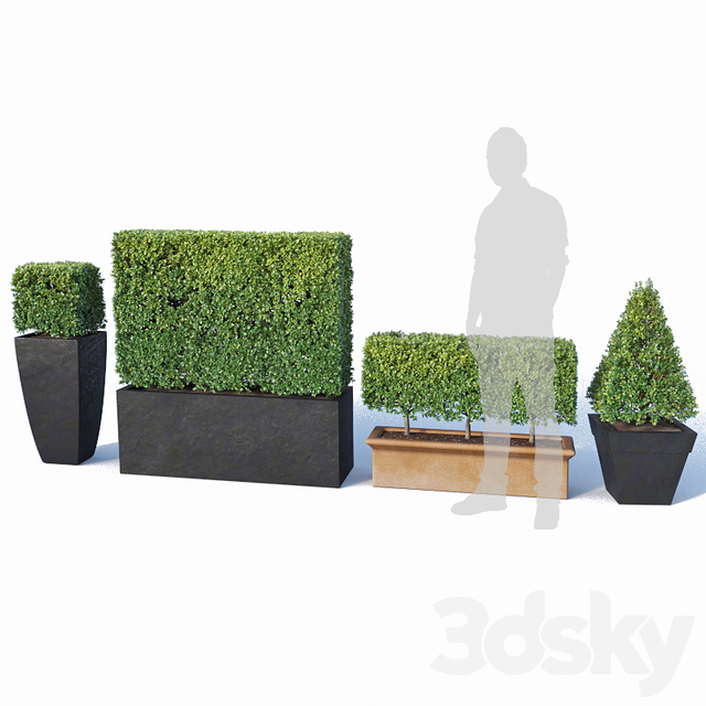 Buxus microphylla # 2