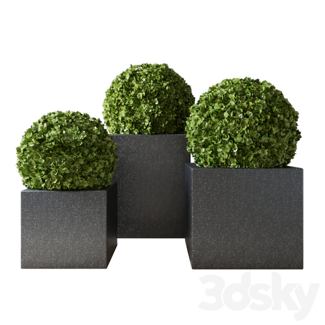 Boxwood Set 02
