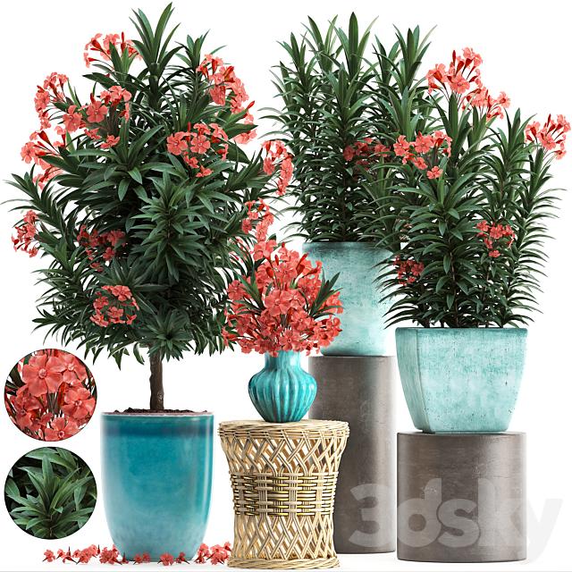 Plant Collection 270. Nerium oleander