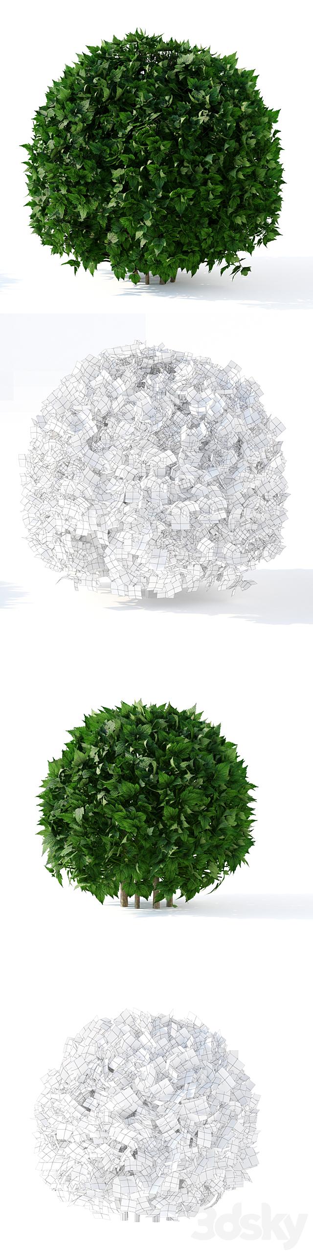 Green apple leaf bush 2 bush   Physocarpus opulifolius sphere