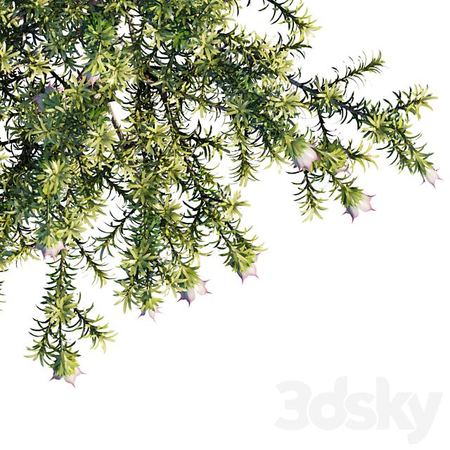 Darwinia Meeboldii   Cranbrook bell