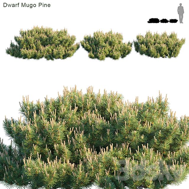 Dwarf Mugo Pine   Creeping pine