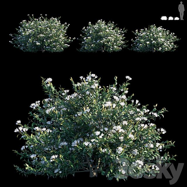 Common bush
