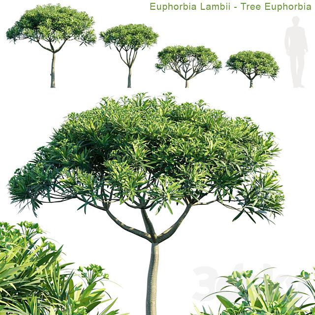 Euphorbia Lambii | Tree euphorbia