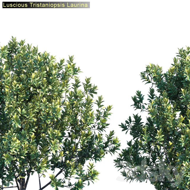 Luscious | Tristaniopsis laurina