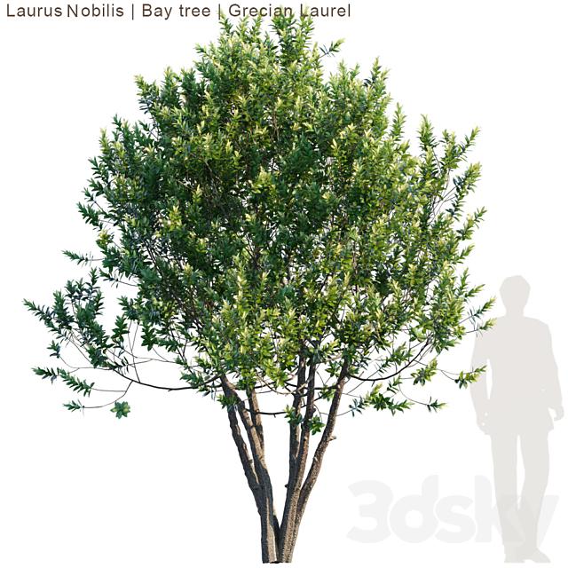 Laurus Nobilis | Bay tree | Grecian Laurel tree