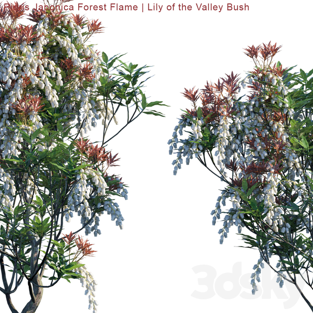 Pieris Japonica Forest Flame | Lily of the valley bush