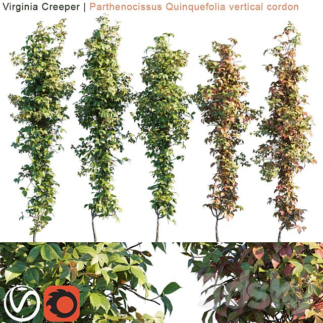 Virginia Creeper vertical cordon