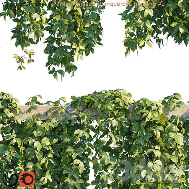 Virginia Creeper | Parthenocissus Quinquefolia hanging # 2 | 10 module