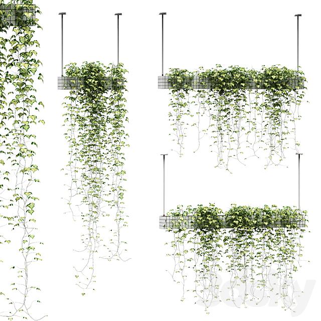 Ivy in hanging pots. 3 models