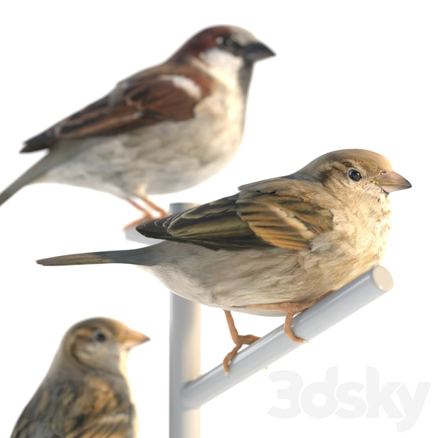 House Sparrow / 2