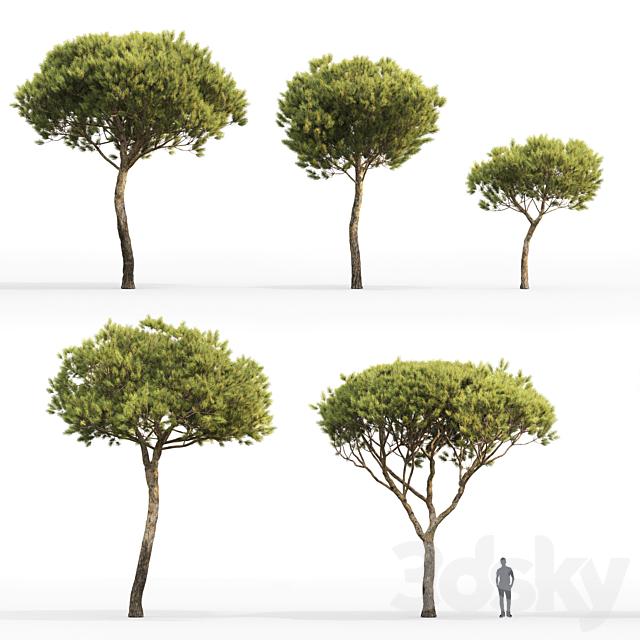 Pine Italian Pinea | Pinus Pinea # 4 (4.8-9.2m)