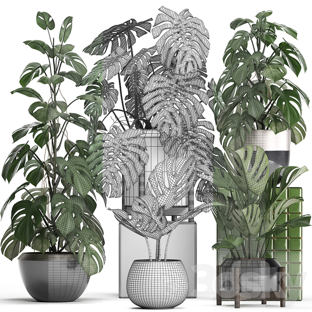 Plant collection 351. Monstera