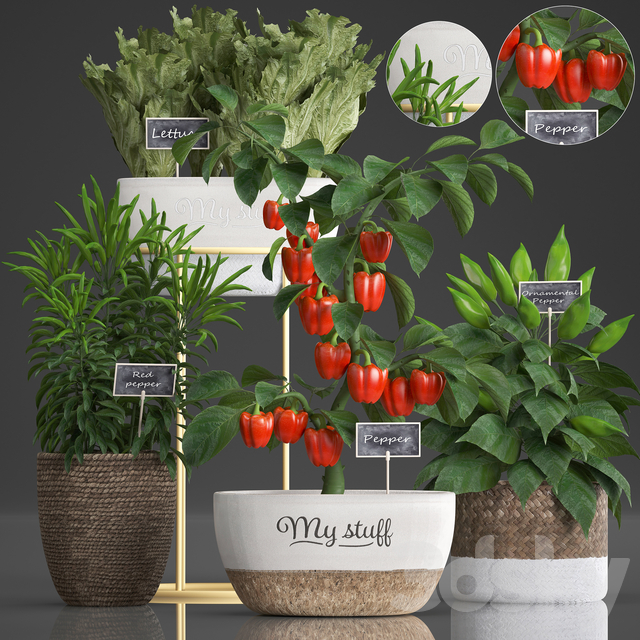 Plant Collection 388. pepper