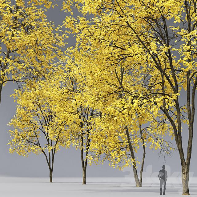 Autumn Ash   Ash-tree autumn # 3_4 (17-18m)