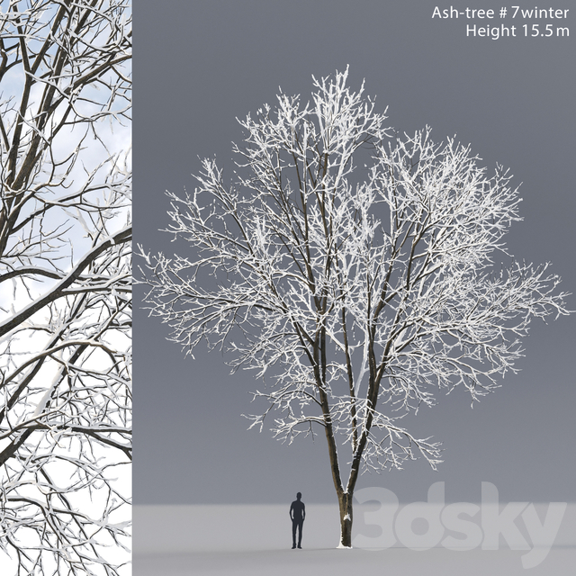 Winter Ash | Ash-tree winter # 7 (15.5m)