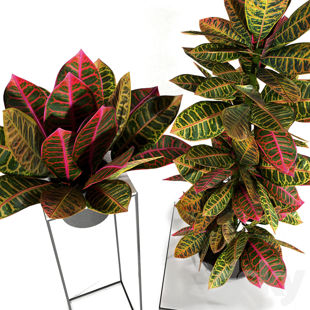 Croton plants set