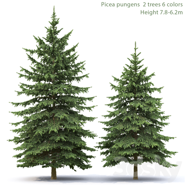 Spruce   Picea pungens # 4 (7.8-6.2m)