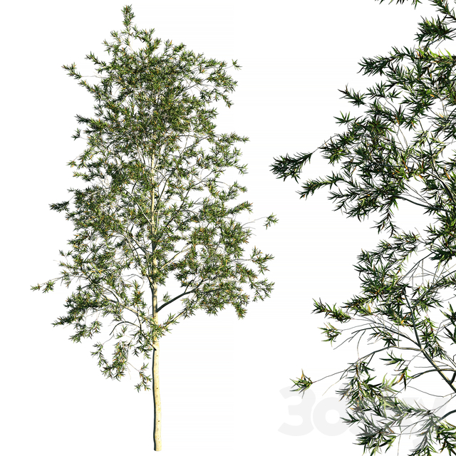 Tree Corymbia citriodora_eucalyptus