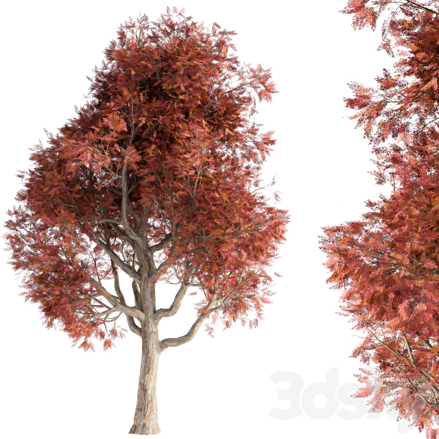 Japanese tree red