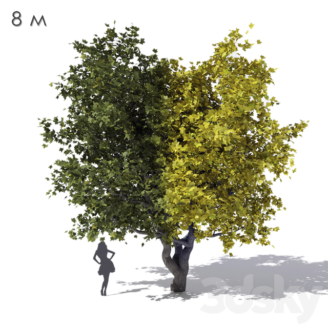 Wide cone-shaped maple maple 8m