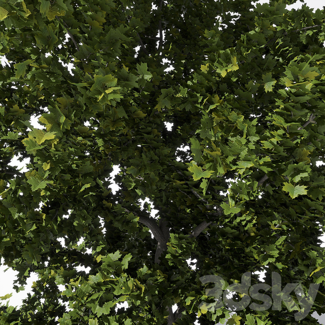Wide conical maple sycamore 5m