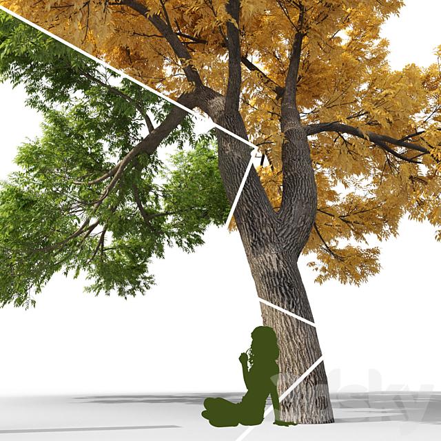 Ash-tree / Fraxinus #3