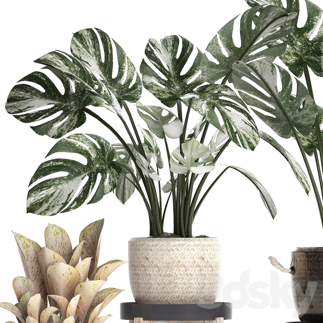 Collection of plants 450. Monstera variegated
