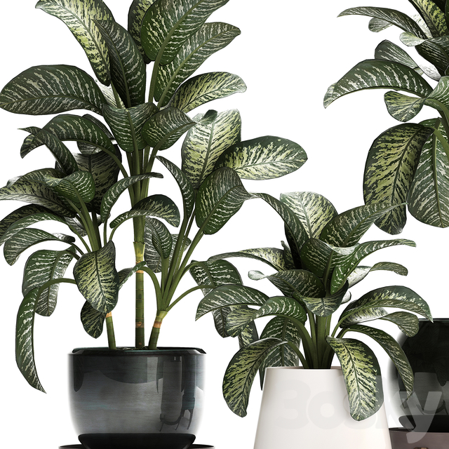 Plant Collection 452. Dieffenbachia
